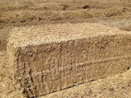 Large square bale of switchgrass