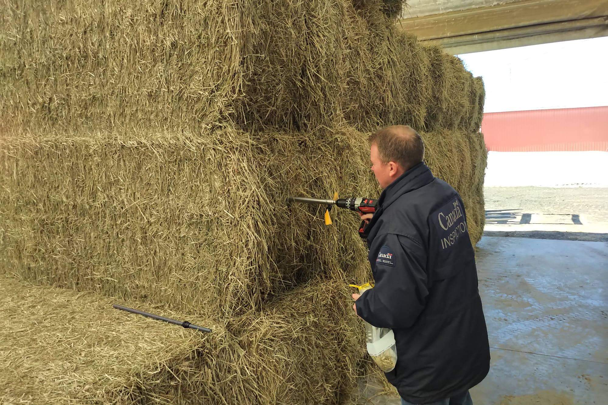 Canadian federal inspector using a drill to inspect a hay sample for export